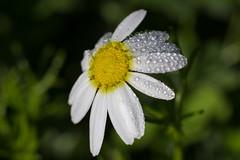 Winter Daisy (DanielaC173) Tags: winter winterdaisy daisy wildflower flower dew chamaemelumfuscatum water waterdrops drops droplets white