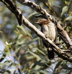 Rufous-necked Wryneck (Jynx ruficollis)-6751 (Dave Krueper) Tags: africa aves bird birds landbird picidae piciformes rnwr southafrica woodpecker wryneck