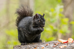 Black Squirrel 501_0366.jpg (Mobile Lynn) Tags: rodents blacksquirrel squirrel nature fauna mammal mammals rodent rodentia wildlife vancouver britishcolumbia canada ca