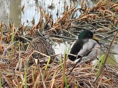 Peeking duck. (Simply Sharon !) Tags: mallards ducks birds wildlife britishwildlife nature january
