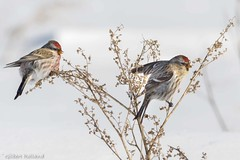 Common Redpoll Couple against the cold wind - Sizerin Flammé - Acanthis flammea (Gilbert Rolland) Tags: cold froid winter hiver gilbertrolland commonredpoll sizerinflammé rouge