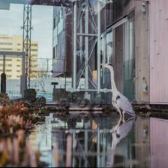 Hardy Heron (spiridono) Tags: film amsterdam netherlands city cityscape analog bird heron mamiya medium format animals