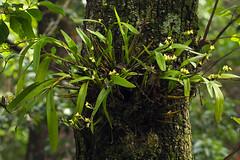 Polystachya albescens (zimbart) Tags: africa zimbabwe penhalonga larochelle flora flowers plants angiosperms monocots orchidaceae polystachya polystachyaalbescens
