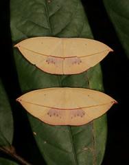 Uraniid Moths (Paradecetia or Brachydecetia sp., Auzeinae, Uraniidae) (John Horstman (itchydogimages, SINOBUG)) Tags: insect macro china yunnan itchydogimages sinobug entomology canon moth lepidoptera uraniidae auzeinae 2 explore top tumblr