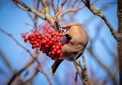 Waxwing With Blue Sky (Chris Willis 10) Tags: waxwings bird branch nature wildlife tree animal outdoors beak twig red closeup feather animalsinthewild beautyinnature forest birdwatching perching cute winter multicolored