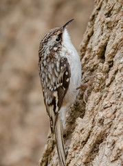 Brown Creeper. (tresed47) Tags: 2019 201901jan 20190127homebirds birds browncreeper canon7dmkii chestercounty content folder home january pennsylvania peterscamera petersphotos places season takenby us winter