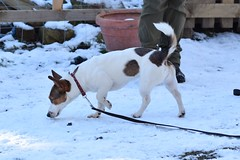 Molly (2) (AlmostHome_Dog) Tags: almost home dog rescue north wales jack russell terrier dachshund