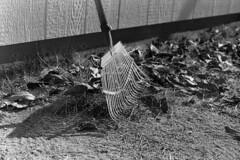 The Last Mulberry Leaves (squirtiesdad) Tags: autumn mulberry leaves rake barn diyfilmscanning selfdeveloped zenit et super takumar 55mm f18 monochrome blackandwhite bw bn analog analogue arista aristaedu iso100 35mm film