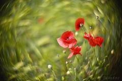 A Summer Poem ...  🌻 (d heinz) Tags: mohn mohnblume klatschmohn papaver papaverrhoeas poppy poppies detlevvonliliencron einensommerlang diylens
