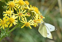 Hanging On (Eleanor (No multiple invites please)) Tags: coth5 smallwitebutterfly ragwort yellowflowers bentleypriory stanmore uk nikon d7200 september2018
