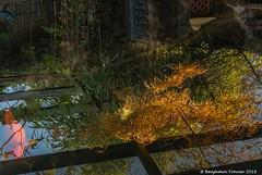 Acer and Koi (frattonparker) Tags: afsnikkor28300mmf3556gedvr btonner isleofwight lightroom6 nikond810 raw frattonparker reflections reflection fish trees net