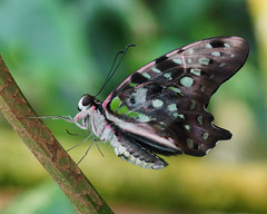 Graphium agamemnon (Darea62) Tags: tailedjay butterfly nature insect animal