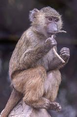 005_Baboon Tasting a Stick.jpg (Howard Sumner) Tags: litchfieldpark wildlifeworldzoo arizona baboon zoo primate animal