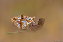 Queen of Spain fritillary (Issoria Lathonia) (Silvio Sola) Tags: silviosola butterfly farfalla macro closeup campo insetto lepidottero insect insects flower fiore