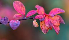Autumn foliage (alh1) Tags: england haxby northyorkshire york autumn foliage colour patterns bokeh macro
