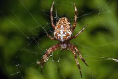 The Cross - _TNY_0551 (Calle Söderberg) Tags: macro canon canon5dmkii canoneos5dmarkii canonef100mmf28usmmacro 5d2 canon5dmarkii flash meike mk300 glassdiffusor raynox dcr250 arachnida araneae araneus diadematus spider spindel orbweaver hjulspindel korsspindel kors cross crossorbweaver crownedorbweaver diademspider europeangardenspider kreutzspinne web spiderweb spindelnät red f22