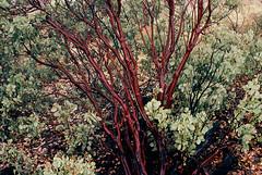 Manzanita (bingley0522) Tags: nikkormatft3 nikkor50mmf18 ektar100 sierrafoothills murphys calaverascounty querencia manzanita autaut