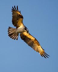 Osprey (stephaniepluscht) Tags: alabama 2018 osprey flight wings little lagoon pass gulf shores