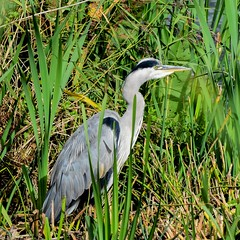 Heron F00477 Fairburn Ings D210bob DSC_5180 (D210bob) Tags: heron f00477 fairburnings d210bob dsc5180 nikond7200 birdphotography birdphotos naturephotography naturephotos nikon wildlifephotography nikon200500f56 rspb