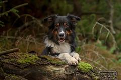 Yatzy (Flemming Andersen) Tags: yatzy dog bordercollie outdoor nature hund pet animal vestervig northdenmarkregion denmark dk