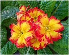 Yellow & Red Primrose .. (** Janets Photos **) Tags: uk twocolouredplants flowers plants flora primrose macro closeups