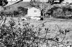 leica lllf + elmar 5cm f2.8 (joxe@n) Tags: leicalllf elmar5cmf28 35mm analogico analogica film aybalaostia blanconegro bw joxenfoto joseantonioandresgomez r09oneshot rodinal agfa fomapan100 revelado pelicula alamedilla salamanca paisaje