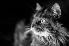 Loki en low key (uluqui) Tags: canon 6d sigma 50mm cat animal portrait kitty lowkey mainecoon noiretblanc