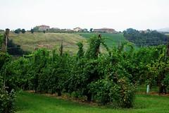 Lambrusco country (Bosc d'Anjou) Tags: italy modena castelvetrodimodena caberti lambrusco winery vineyard