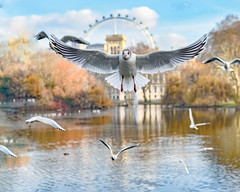 the flying eye (Paul Wrights Reserved) Tags: seagull eye london llondoneye reflection reflections reflectionphotography bif bird birding birds birdphotography birdwatching birdinflight scenic action landscape water lake pond nature colour colours vibrant