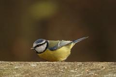 Blue Tit (hedgehoggarden1) Tags: bluetit birds wildlife rspb nature creature animal sonycybershot lynfordarboretum norfolk eastanglia uk bird foresterycommission sony