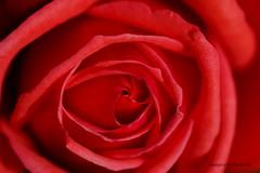 Roses are red ! (DirkVandeVelde back , and catching up) Tags: europa europ europe belgie belgium belgica belgique buiten bloem anvers antwerpen antwerp mechelen malines malinas macro vrijbroekpark flora flower fleur roos rose rood plant plantae spermatopsida zaadplanten rosales rosa