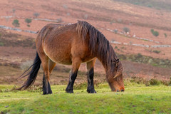 Dartmoor Pony (lee dawe photography) Tags: grass horse mammal grassland animal grazing pasture field stallion nature mare mane outdoors wildlife rural farm eating meadow ecosystem outdoor colthorse noperson steppe mountain horselikemammal standing countryside brown ecoregion open pony dartmoor
