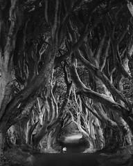 The Dark Hedges (Leica Bill) Tags: monochrome blackandwhite northernireland ireland darkhedges trees
