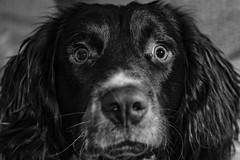 Getting the hang of this posing lark ! (TrevKerr) Tags: dogportrait spaniel springerspaniel pup puppy nikon d750 nikon2470f28 nikonsb900