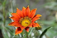Gazania Flower (Seventh Heaven Photography **) Tags: gazania flower flora bloom orange daisy nikon d3200 insect