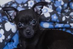Toby (Eleonora Cacciari) Tags: cane dog chihuahua chiwi cagnolino pet puppy black blackdog eye occhi funo italia animale canine
