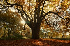 King of the forest (Westhamwolf) Tags: tree king royal oak leaves epping forest london england sun branches autumn