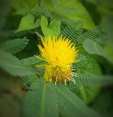 Rare yellow Mimosa flower (kat_chin_2000) Tags: yellowmimosa mimosa wildgrass weeds thornyweeds redminote3 closeupshots yellowflowers rareflowers