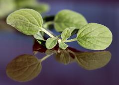 Oregano (Helen Orozco) Tags: macromondays vowel oregano herb hmm reflection leaves aeiou macro