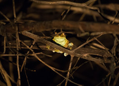 Tree Frog - Still to be identified (piazzi1969) Tags: elements treefrog frogs tiere herpetology amphibians nature canon eos 5d markiii ef100400mm wildlife frösche natur fauna brazil brasilien rionegro herps