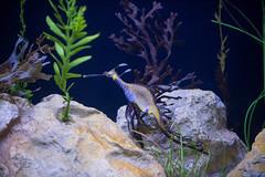 Sea Dragon. (LisaDiazPhotos) Tags: birch aquarium la jolla lisadiazphotos san diego sea dragon