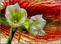 Amaryllis Blossoms with  Amaryllis Leaf Texture (scorpion (13)) Tags: amaryllis flowers my favorite models at the moment leaf texture frame color creative eyperimental fun winter advent living room plant