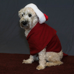 Santadog2 (Eric.Ray) Tags: dog santa nikon dslr pet animal red hat square 2018