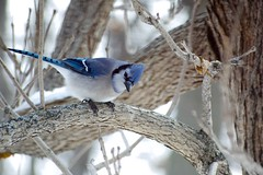 Blue Jay (mcwetboy) Tags: bird bluejay taxonomy:binomial=cyanocittacristata cyanocitta banding