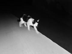 Dhaka|2018 (Shahrear94) Tags: cat slowshutter xiaomi blackandwhite bnw moment monochromatic monochrome bangladesh geom focused night 18 24mm mia2 minimalistic minimal shutter flicker pet animal catscatscats contrast
