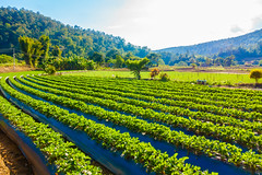 È Fatto in Casa (È Fatto in Casa) Tags: agriculture angkhang crop cultivation farm farmland field fresh fruit garden gardening green grow growth leaf mai mountain nature organic plant plantation red spring strawberry thailand