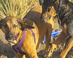 hard at play (RCB4J) Tags: bavarianmountainhound siameselurcher dobermanterrier willow babygrace dogs fun play beach rcb4j ronniebarron art photography sonyslta77v on1 ayrshire scotland tamronspaf90mmf28dimacro11 irvinebeach ayrshirecoast clydecoast firthofclyde sunshine