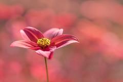 mer rouge (christophe.laigle) Tags: rouge christophelaigle fleur macro vivid nature flower fuji bokeh colours xpro2 xf60mm red