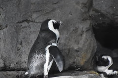 Tagged Penguin (earthdog) Tags: 2019 nikon nikond5600 d5600 18300mmf3563 monterey montereybayaquarium aquarium bird animal liveanimal penguin