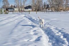 IMGP7183 (Matt_Burt) Tags: dog fairgrounds luna snow walk